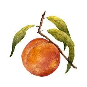 A watercolor of a peach