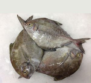 Fish in Tamil Nadu Manufacturers and Suppliers India