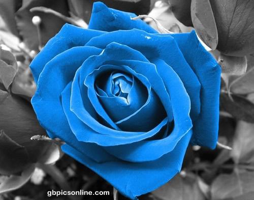 Rosen Bilder  Rosen GB Pics  GBPicsOnline