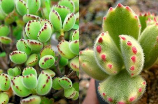 盆栽知識:熊童子夏天掉葉怎麼處理,學會這五招養出健康植物 - 愛經驗