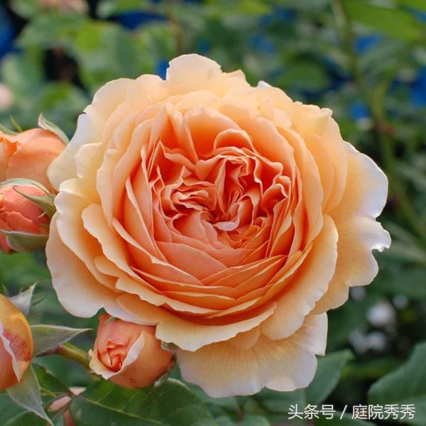 搞不清什麼是大輪中輪和小輪種,別說你了解玫瑰花 - 愛經驗