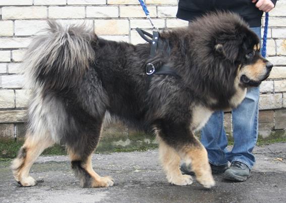 Самые дорогие породы собак в мире