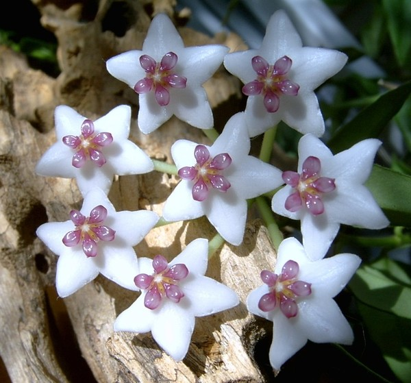 HOYA  COMPACTA GREEN TWISTED HINDU ROPE SMALL PLANT IN 8CM HANGING