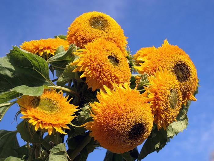 Как называется цветок похожий на подсолнух
