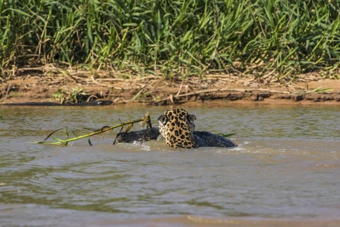 Ягуар и кайман: два кровожадных монстра из тропиков сошлись в смертельной битве