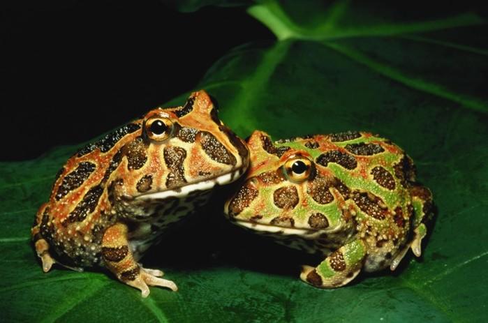 Какая разница между лягушками и жабами? Чем они отличаются