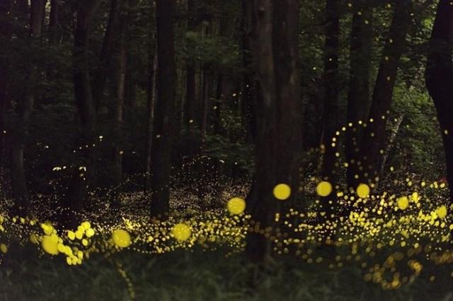 Для чего светлячки зажигаются по ночам?