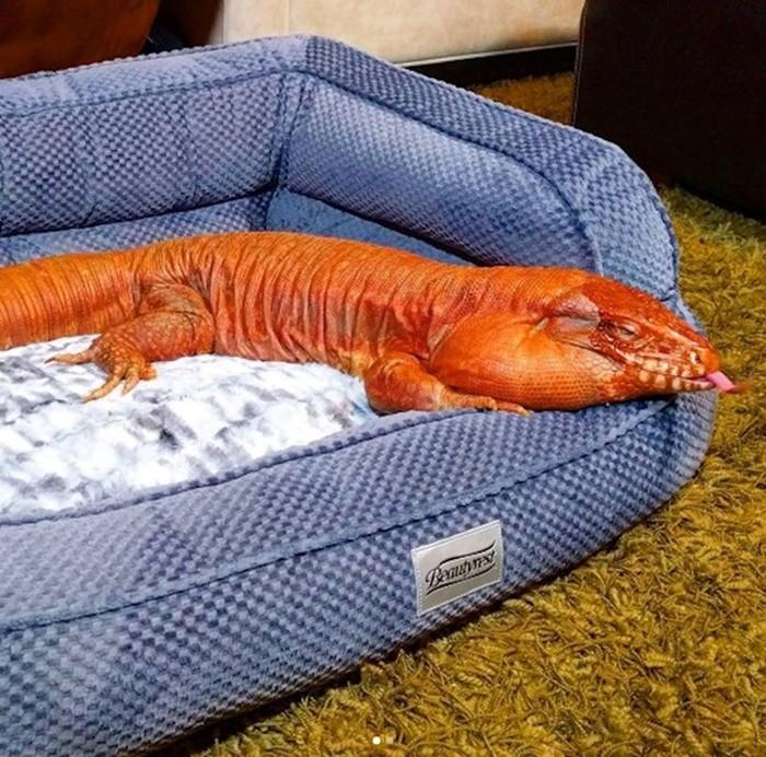 Ящерица тегу   забавное домашнее животное