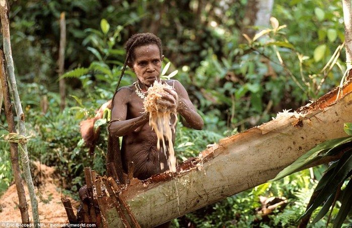 Как живут людоеды племени короваи в Индонезии
