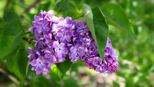 Лист сирени: домашнее мочегонное средство, обезболивающее, жаропонижающее и противовоспалительное