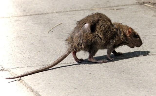 Крысы людоеды? В каких случаях крысы нападают на человека