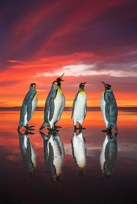 Королевские пингвины в объективе фотографа
