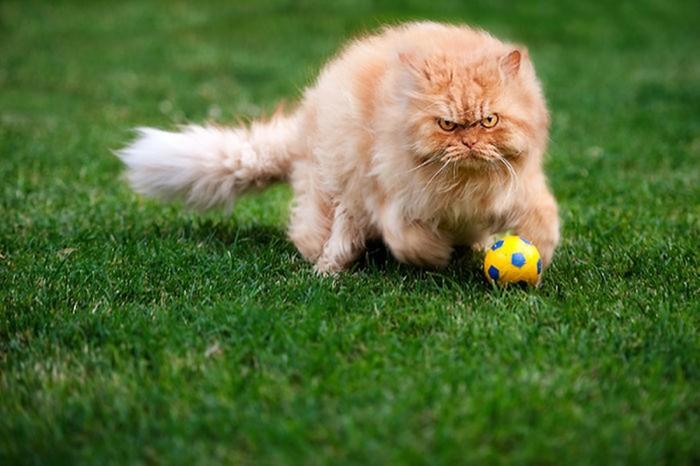 Гарфи, самый сердитый кот в мире (фото)