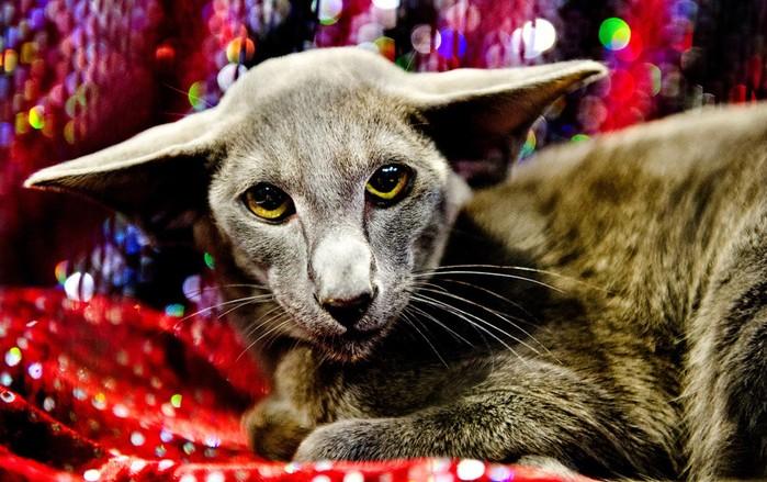 Выставка кошек в Великобритании. Сотни участников конкурса в Бирмингеме!