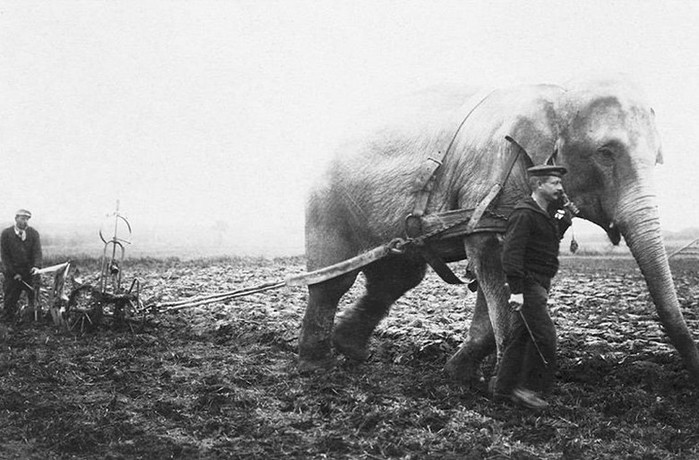 История фото: зачем люди пахали слоном землю
