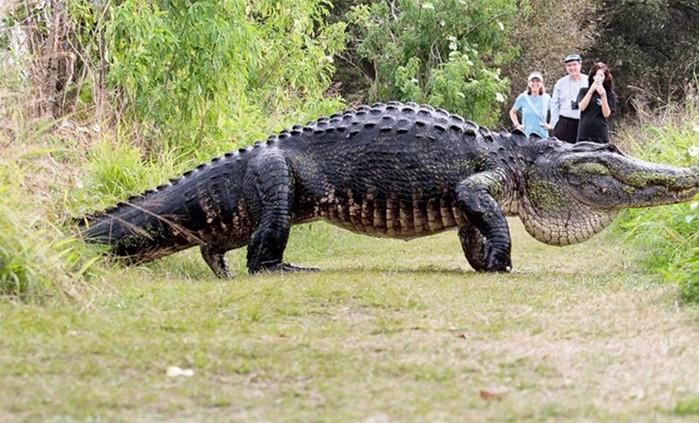 Самого большого крокодила поймали на видео во Флориде
