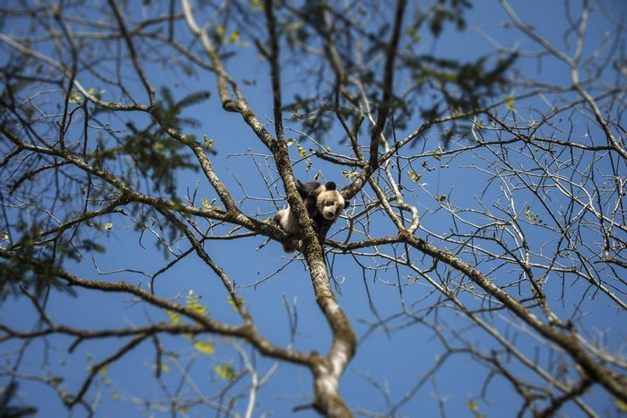 Как разводят панд в Китае в заповеднике Улунь
