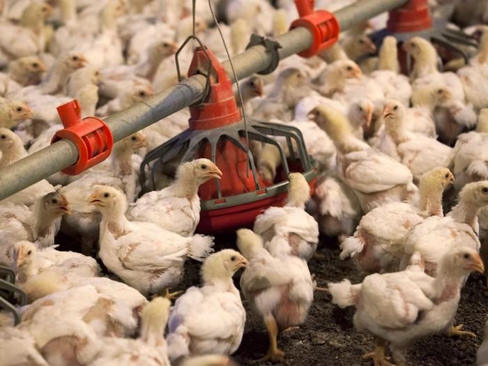 Что означают белые прожилки в курятине