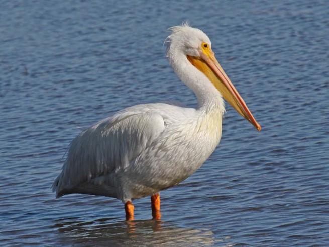 Пеликан: самые неожиданные факты