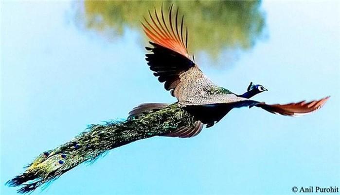 Фотографии летящих павлинов: красивое и необычное зрелище