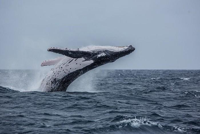 Рай на земле: Королевство Тонга и горбатые киты
