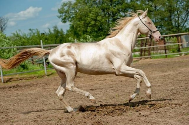 10 самых красивых пород лошадей, по мнению «Моей планеты»