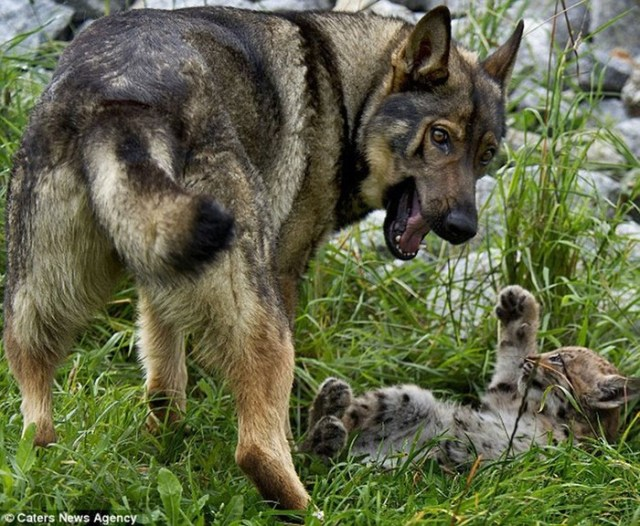 Необычные друзья: немецкая овчарка и рысята