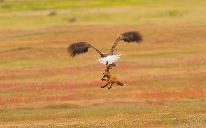 Как орел и лиса не смогли поделить добычу: фотографии схватки