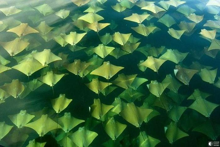 Миграция золотых скатов в Мексиканском заливе