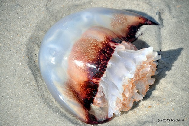 Самые опасные медузы в мире! Что делать, если вас ужалила медуза?