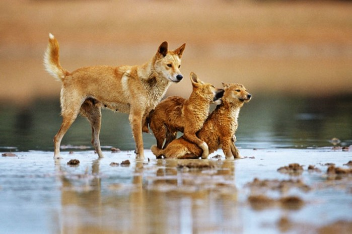 Самые древние дикие собаки из разных уголков планеты