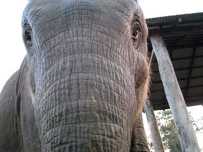 Из жизни слонов в национальном парке Читван в Непале: фотографии