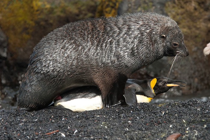 Видео, как морской котик насилует пингвинов: Содом и Гоморра в животном мире