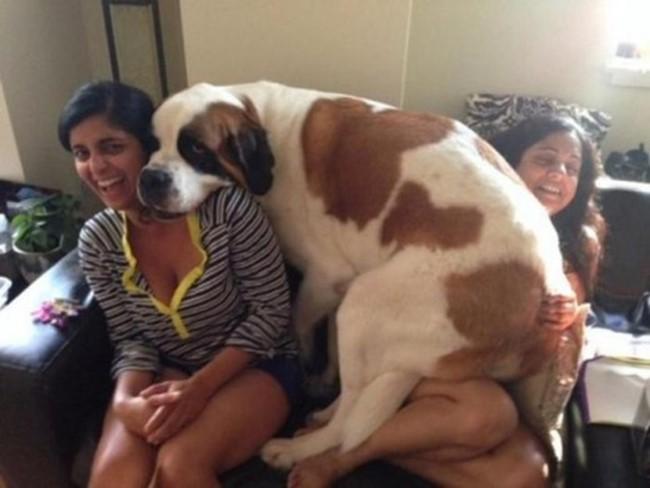 Фото: 20огромных собак, которые все еще щенки вдуше