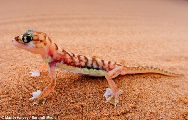 Намибийский перепончатолапый геккон пьёт воду из своих глаз
