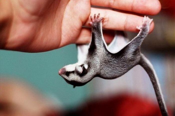 Самые сладкие животные— сахарные поссумы, родственники белки летяги