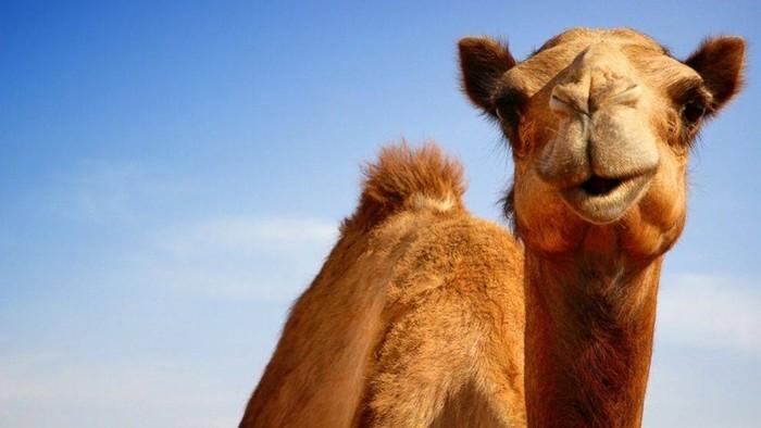 Заблуждения о вере и верблюдах