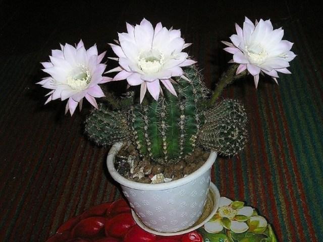Как узнать вид кактуса