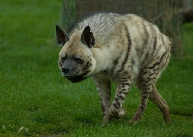 Почему гиены пользуются плохой репутацией? Мифы и факты