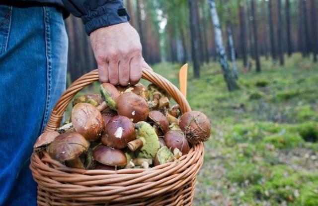 Обязательно ли срезать грибы острым ножом?