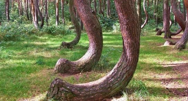 Загадочный кривой лес в Польше