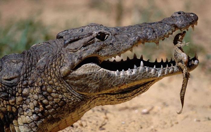 Оказывается, что нильский крокодил   это два крокодила!