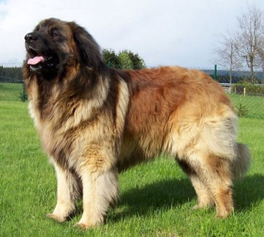 Самые большие собаки— 10 крупных пород