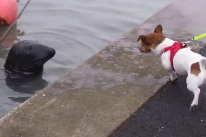 Ирландский тюлень из океана ходит в рыбный ресторан