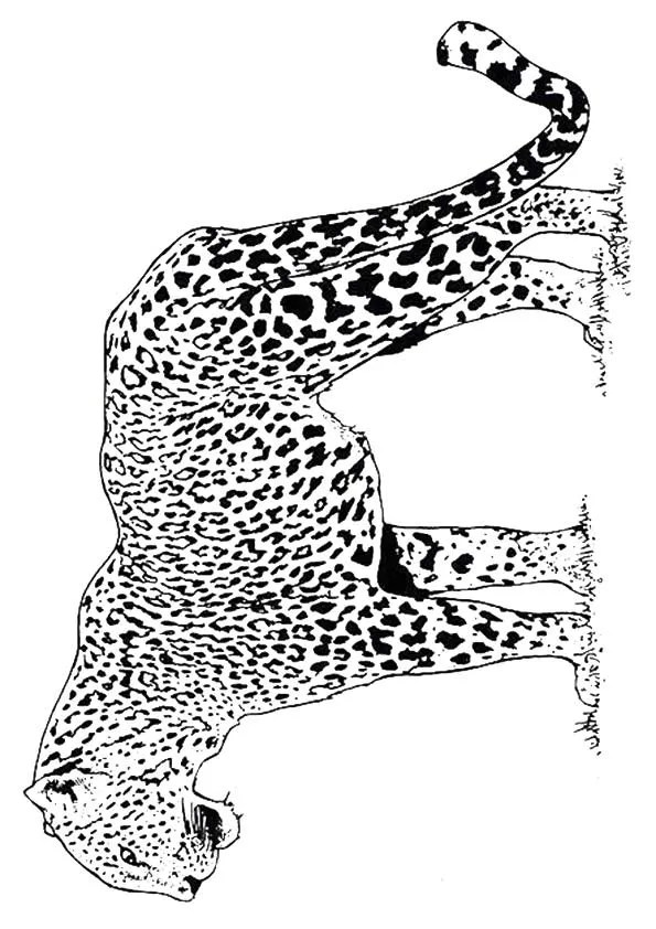 Free Printable Cheetah Coloring Pages, Cheetah Coloring