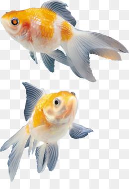 Ikan Hias Png : Unduh, Gratis, Guppy, Endler, Livebearer, Akuarium, Fantail, Gambar