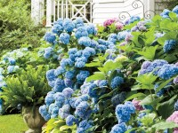 Learn When to Prune Different Hydrangeas in Your Garden ...