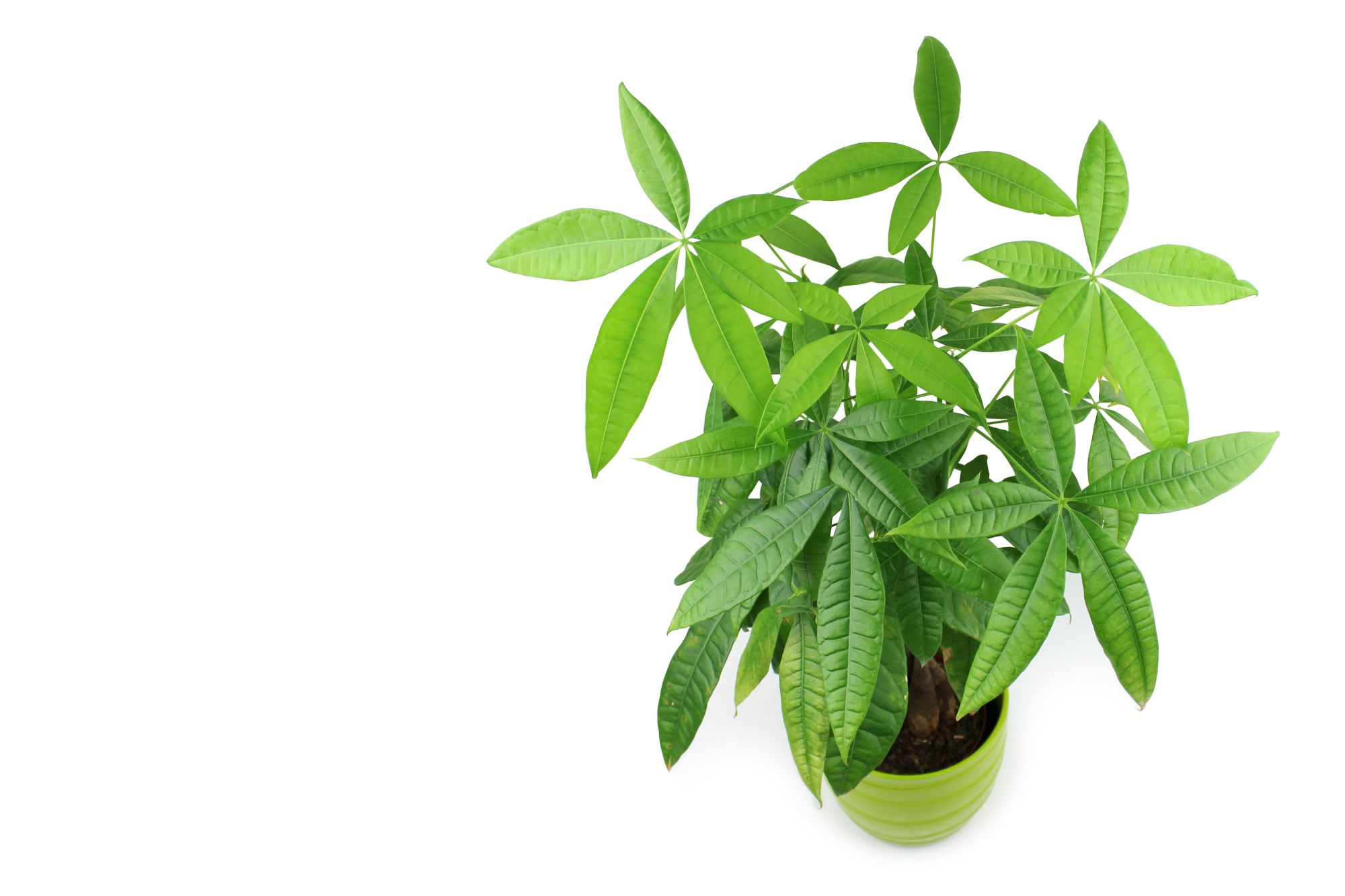 hight resolution of the easy to grow money tree is also considered good luck