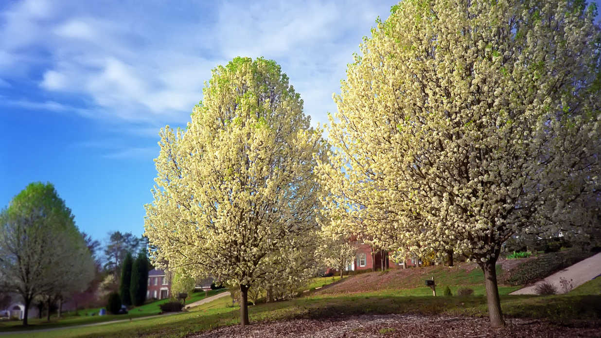 Why Bradford Pears Are The Worst Tree Ever  Southern Living