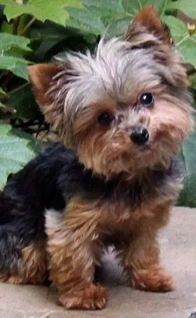 Teacup Puppies For Sale Nc : teacup, puppies, Yorkie, Rescue